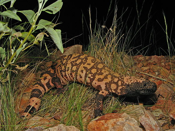 tmp_6708-600px-Reticulate_Gila_Monster1330559540